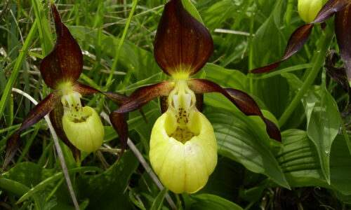 Wild about orchids month at Kilnsey Park Estate in the Yorkshire Dales