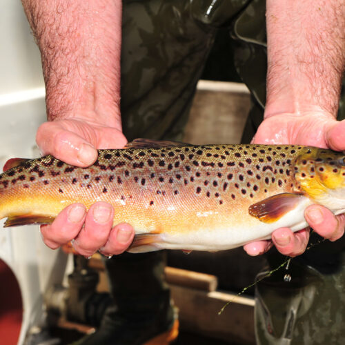 21st May 2020 The Kilnsey Park fishery , near Skipton, open after Coronavirus lockdown. Pictured a Brown trout  Picture Gerard Binks