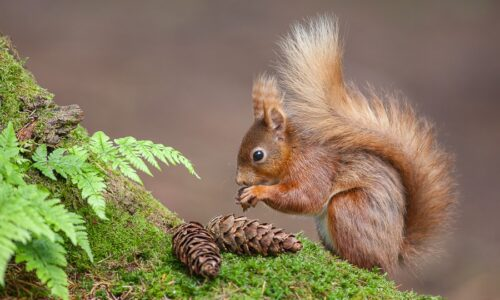 Red squirrel 5 (c) Wild Dales Photography